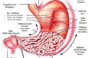 mide anatomisi2